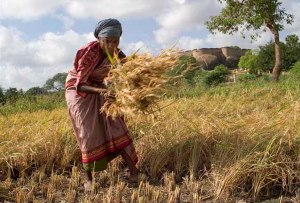 Manual_harvest_in_Tirumayam